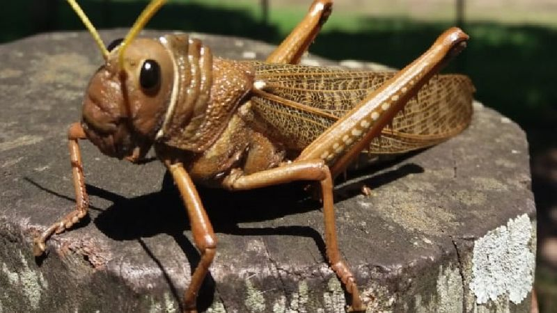 Declaran el alerta fitosanitaria en todo el país por plaga de langostas