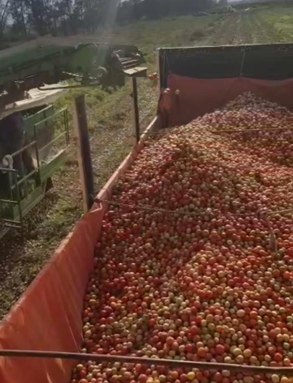 Inició la cosecha de tomate en las hectáreas de Valle Viejo