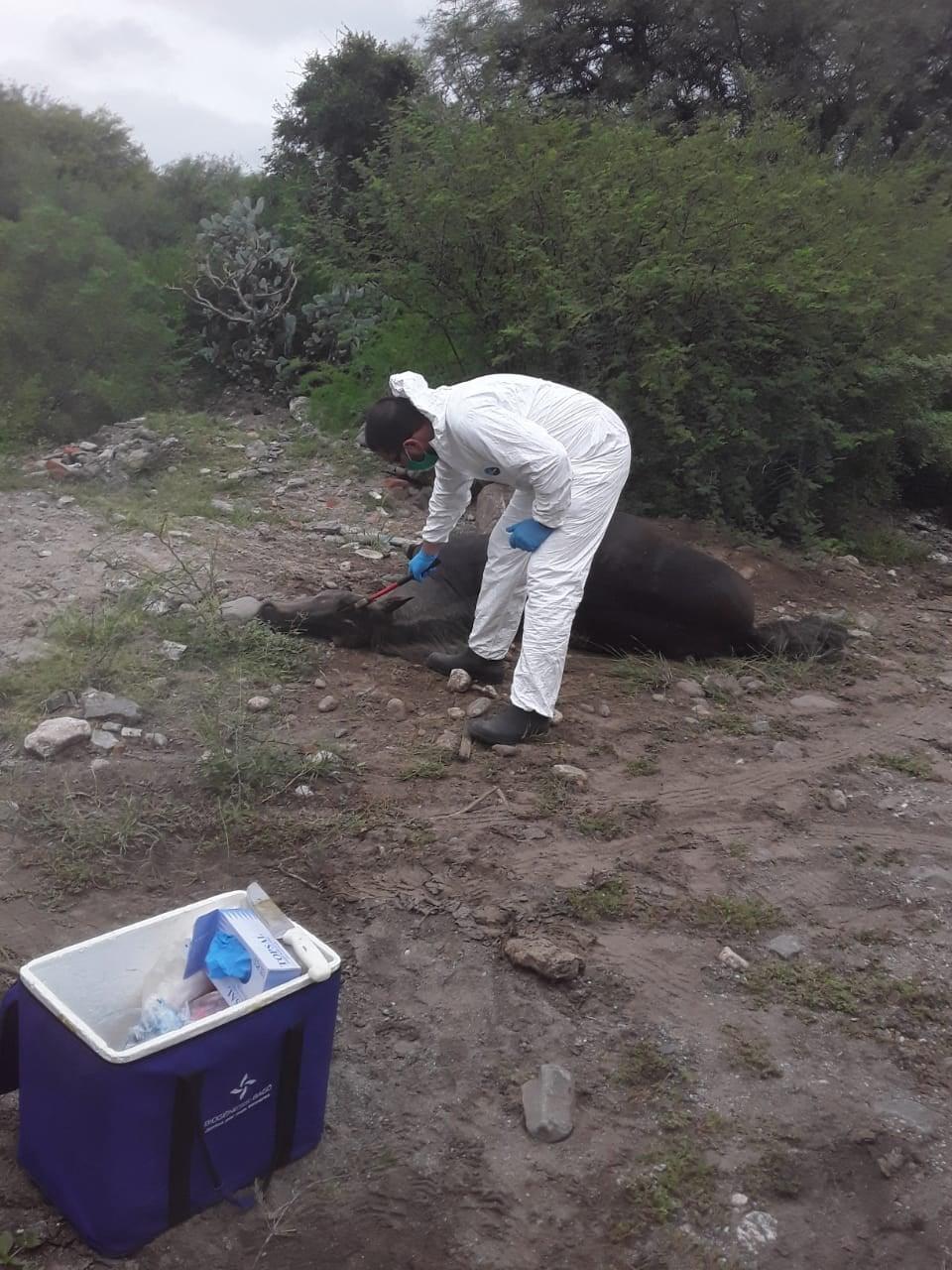 Detectan caso de rabia paresiante bovina